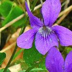 معرفی ونوشه: بنفشه معطر گونه گیاه گلدار از جنس ویولا در خانواده بومی اروپا و آسیا است ، اما در شمال آمریکا و استرالیا نیز فراوان است. این گیاه با عناوین مختلفی چون بنفشه شیرین، بنفشه انگلیسی یا بنفش باغی نیز شناخته می شود .در افسانه های یونانیان باستان بنفشه معطر به عنوان نماد باروری و عشق بوده و آن را در ساخت معجون عشق استفاده می کردند. در کف جنگل های مازندران دارای نور کافی و حاشیه جاده ها و شیب های تند حاشیه جاده های جنگلی رشد می کند و در اوایل بهار با گل های معطر و زیبای خود، جلوه یی باشکوه به مناطق جنگلی می دهد.بنفشه معطر دارای ریشه های خزنده ،برگ های قلبی شکل اغلب با قسمت پایین تنوری با کمی لبه های دندانه دار به رنگ سبز تیره و سطح صاف و گاهی پرزدار است.این گیاه علفی چندساله فاقد ساقه های مشخص است و بلندی آن به 3 تا 12 سانتی متر می رسد. خواص دارویی ونوشه جنگلی : مصرف جوشانده ی بنفشه ی معطر برای درمان اگزما، خارش پوستی، روماتیسم و سرفه های مزمن مفید است.غرغره ی این جوشانده برای رفع برفک دهان، آنژین و ورم گلو و التهاب لثه مفید است و شستشوی پوست برای رفع ناراحتی های پوستی و آبریزش بینی با این جوشانده موثر است. نوشیدن شربت بنفشه برای درمان برونشیت، سیاه سرفه، میگرن و سردرد، سینه پهلو، تب، سرفه، چشم درد، درد کلیه، ورم لثه و زکام مفید است.گل بنفشه در طب سنتی دارای مصارف بسیار زیادی است . دم کرده گل بنفشه دارای اثر نرم کننده ، خلط آور و معرق بوده و برای رفع گریپ ، برونشیت های حاد ، گلودرد، نزله های مزمن و بطور کلی بیماری های سینه ، التهاب دستگاه گوارش ، کلیه و مثانه ونیز در بیماری مخملک و سرخک استفاده می شود. ونوشه در فرهنگ مازندران : ونوشه گردی از آداب و رسوم قدیمی است که پیش از عید در مازندران اجرا می شود. حدود 20 تا 25 روز پیش از نوروز عده ای جوانان و میانسالان گرد هم جمع و با رفتن به دل طبیعت و هرکجا که برف بوده با کنار زدن برف با دست به مشاهده ی ونوشه اقدام نموده سپس با برداشتن نمونه ای از آن و نشان دادن به مردم به آنها بگویند که عید نزدیک شده است .دیدن گلهای ونوشه با سفربه مازندران با نزدیک شدن فصل بهار و رویش گل های بنفشه معطر به (زبان محلی گل ونوشه) درجنگل های مازندران طراوات بهار رابه ارمغان می رساند.